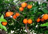 portakal-bahceleri